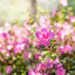 Two acres of manicured gardens with more than 400 azaleas await you at Bloomsbury Inn.